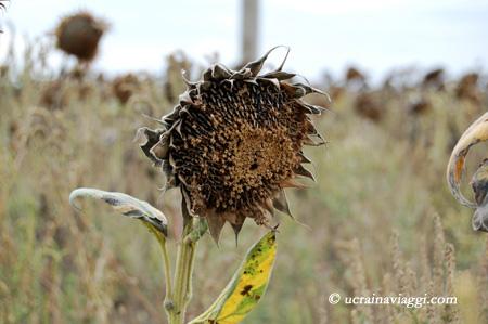 La pianta del girasole